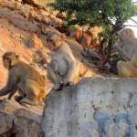 Affen am Affentempel