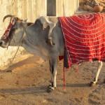 Heilige Kuh mit fünf Beinen