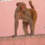 Affe in der rosaroten Stadt