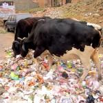 Kühe in Jaipur