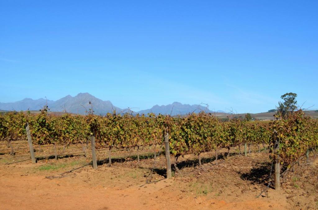 Weingüter in Stellenbosch: Einige der besten Weine kommen aus Südafrika. Prost!