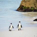 Pinguine Päärchen nach dem Baden in Simons Town