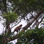 Nasenaffen bei Flusssafari in Borneo