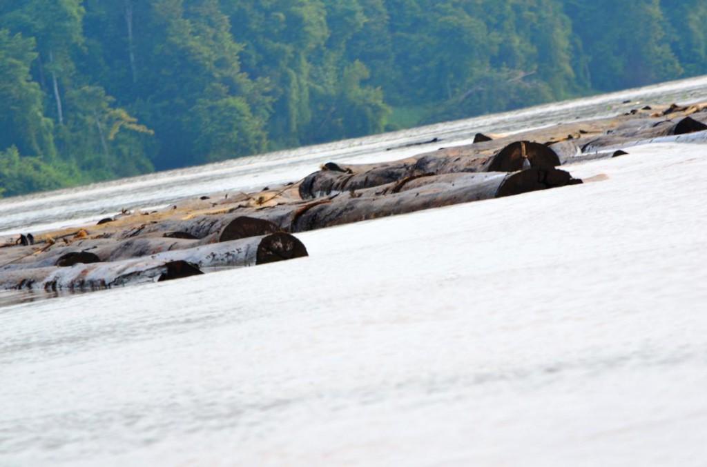 Abholzung auf Borneo: Regenwälder werden abgeholzt und wilde Tiere verlieren ihren Lebensraum.