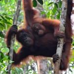 Rote Riesen im Naturparadies Borneo