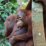 Jungtier mit Mutter: Orang Utan Familie auf Borneo
