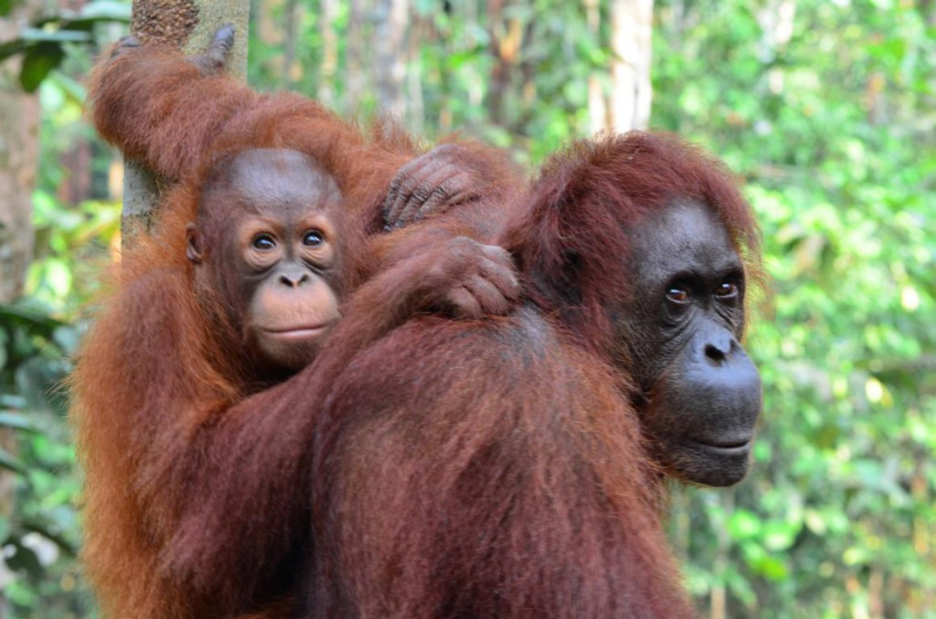 Naturparadies Borneo: Frei lebende Orang Utans