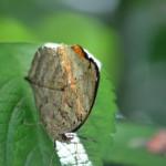 Schmetterling perfekt getarnt als Blatt im Naturparadies Borneo