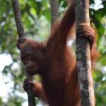 Jungtier: Orang Utan im Regenwald auf Borneo