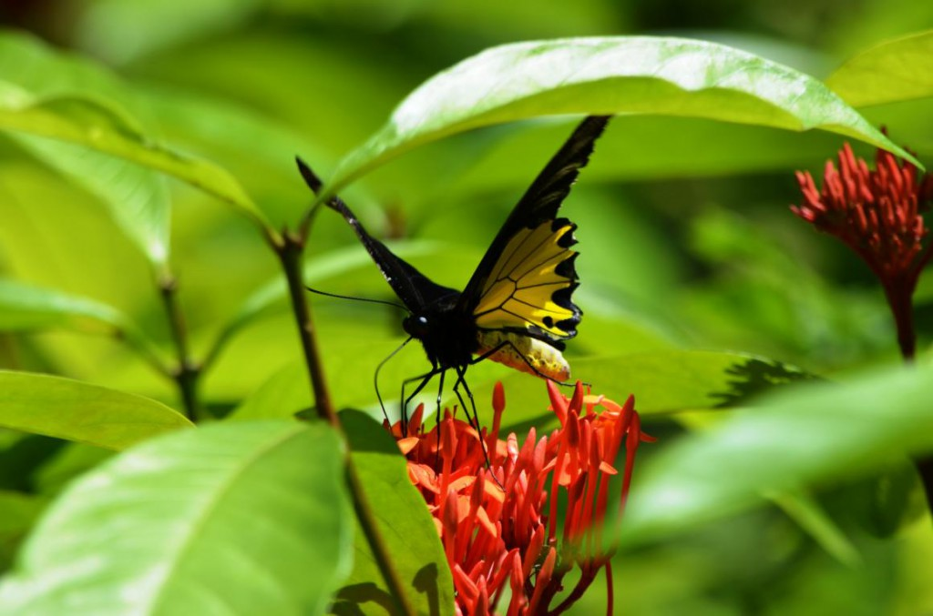 Schmetterlinge so groß wie Handteller - das gibt im Naturparadies Borneo!