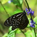 Wunderschöne Schmetterling auf Borneo