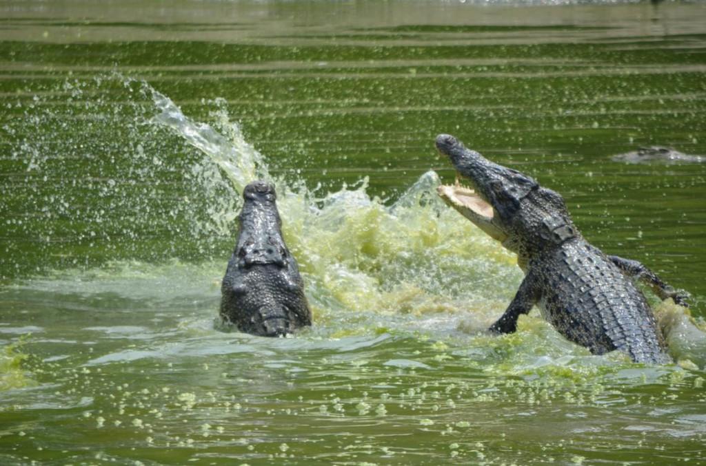 Springende Krokodile auf Borneo: Hände weg!