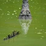 Krokodil lauert auf Beute im Naturparadies Borneo