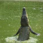 Springende Krokodile auf Borneo