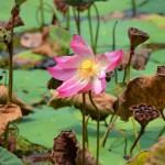 Seerosen ohne Ende im Naturparadies Borneo