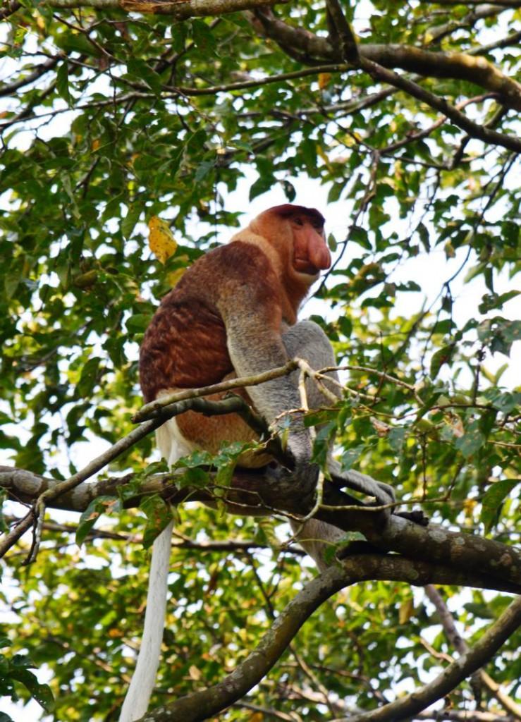 Borneo ist die Heimat einer seltsamen Affenart: Nasenaffen.