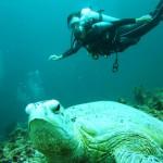 Riesige Schildkröten auf Sipadan Island