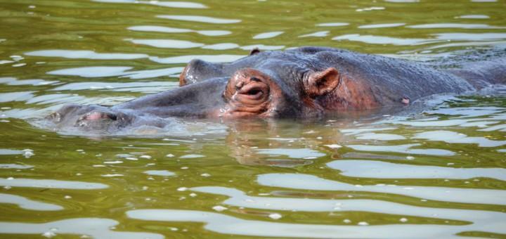 Vorsicht Flusspferde: In St. Lucia leben Südafrika Tür an Türen mit den Dickhäutern