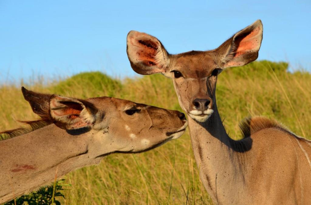 Wilde Tiere zum Anfassen nah: Als Selbstfahrer unterwegs im ISimangaliso Wetland Park