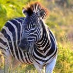 Zebra im ISimangaliso Wetland Park