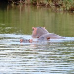 Vorsicht Flusspferde in St. Lucia