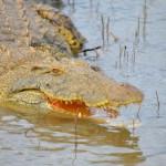 Vorsicht Krokodil: Lake St. Lucia in Südafrika