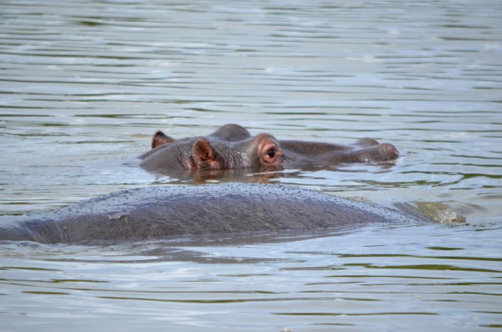 Auf Tuchfühlung mit Flusspferden: In St. Lcuia kommt es immer wieder zu Unfällen mit den Dickhäutern