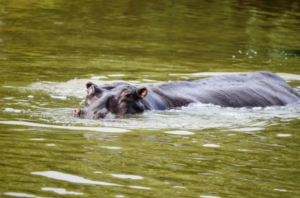 Happy Hippo oder gefährlichstes Tier der Welt? Flusspferde in St. Lucia