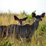 Kudu Junge im ISimangaliso Wetland Parks