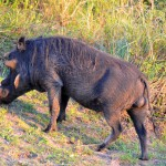Warzenschwein im ISimangaliso Wetland Park