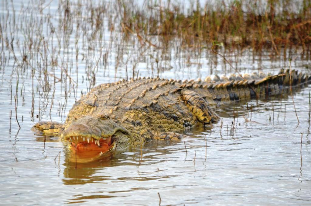 Krokodil beim Sonnen auf einer Sandbank im Lake St. Lucia
