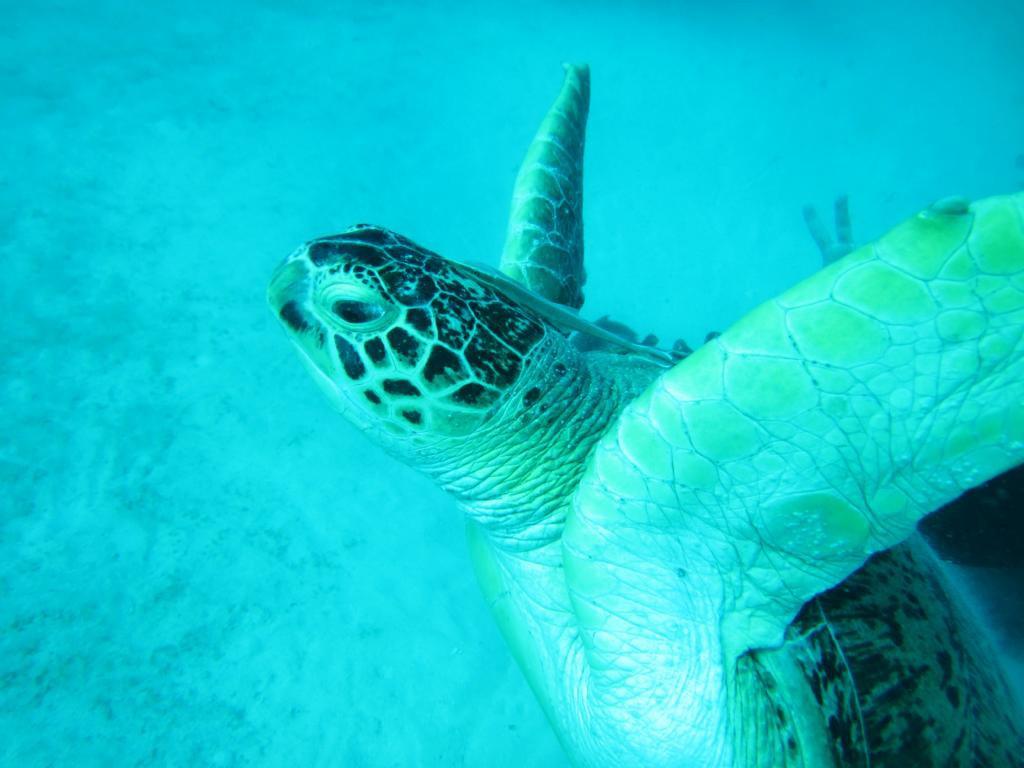 Schildkröten in Hülle und Fülle: Tauchen auf Pulau Mabul und Pulau Siapdan.