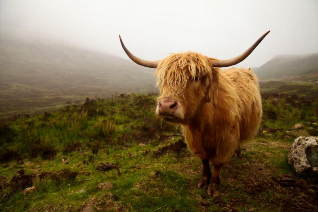 Hochlandrinder auf der Isle of Skye - Liebe auf den ersten Blick!