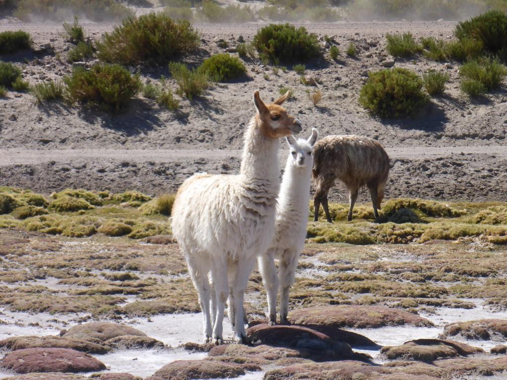 Lamas in Bolivien. © Emanuel - go-on-worldtour.de