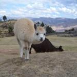 Lamas und Alpakas an den Inka Ruinen Sacsayhuamán.