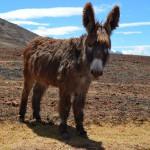 Esel im Urubamba Tal in Peru.