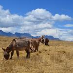 Mountainbiken in den Anden: Vorbei an Viehherden und verschlafenen Dörfern.