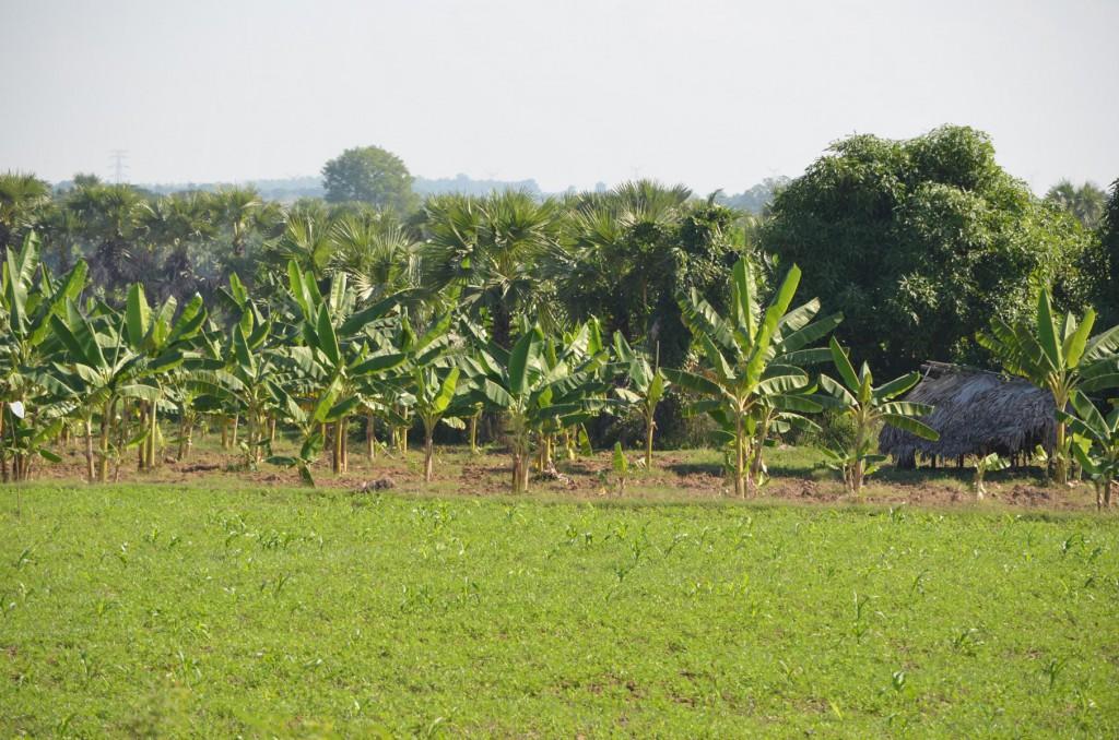 Unterwegs nach Monywa: Durch Bananen- und Reisplantagen.
