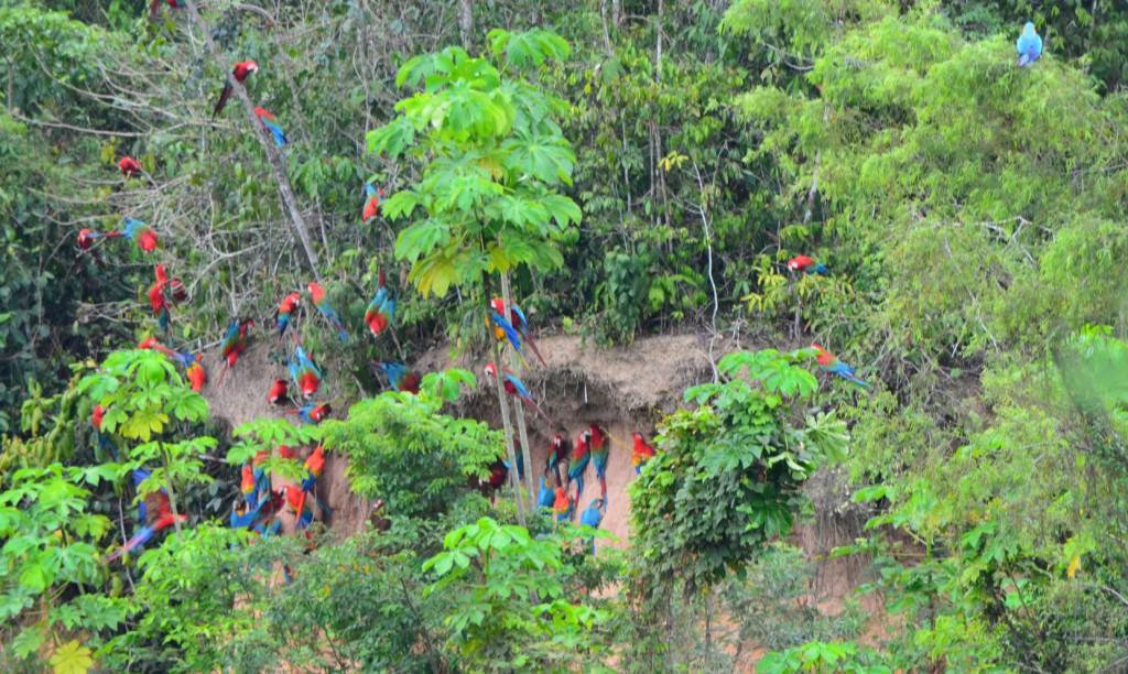 Die weltgröße Mineralienlecke für Papageien im Tambopata Nationalpark Peru