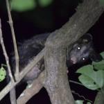Nachtsafari im Tambopata Nationalpark Peru