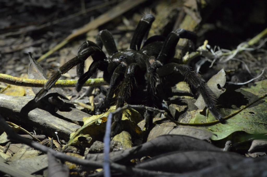 Nachtsafari im Tambopata Nationalpark Peru: Gar nicht so leicht, die Tarantel im Dunkeln zu entdecken!