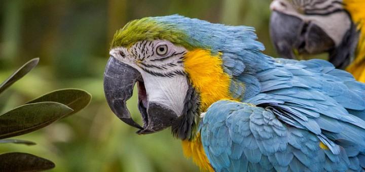 Papageien im Tambopata Nationalpark Peru