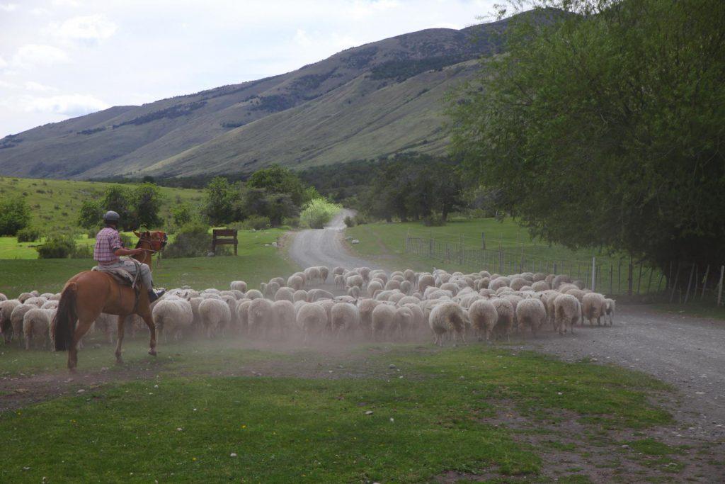 Ein Tag auf der Ranch: Die Gauchos treiben die Schafe ein.
