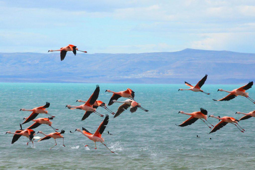Frei lebende Flamingos am Lago Argentino.