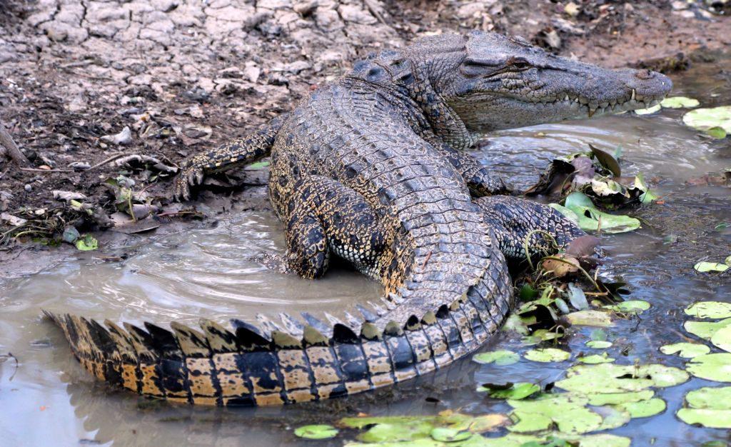 Reisetipps Australien: Salzwasserkrokodil im Kakadu National Park