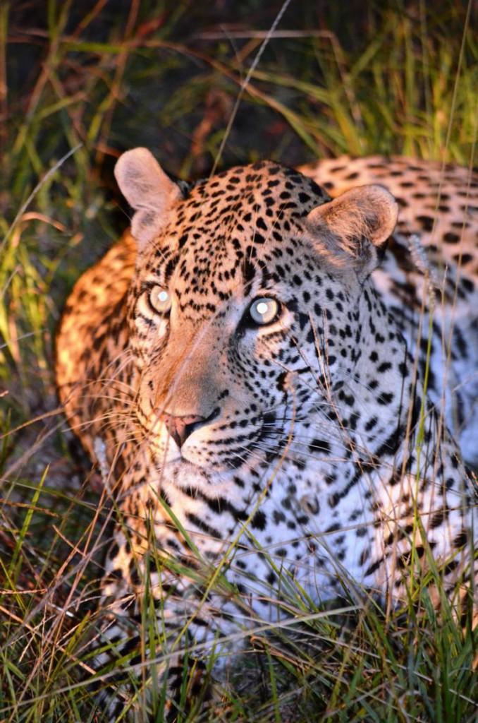 Leopard in Krüger Nationalpark Südafrika