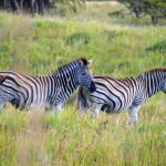 Zebras in den Wetlands Südafrika