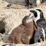 Pinguine in SimonsTown