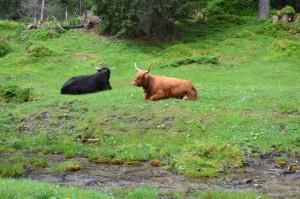 Hochlandrinder in den Alpen: Ein Hauch von Schottland.