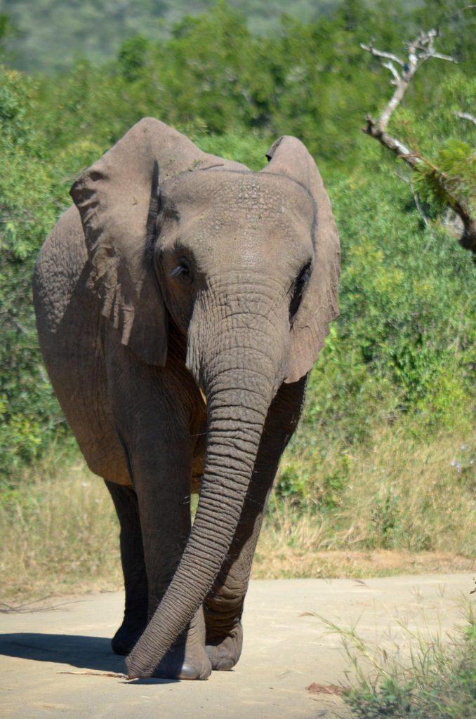 Selbstfahrer Safari: Vorsicht Elefant voraus!